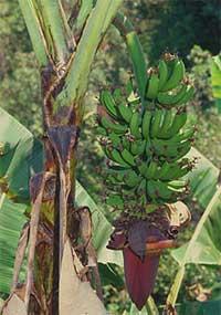 Банан (фото с сайта www.rbgkew.org.uk)