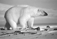 Белый медведь Ursus maritimus (фото с сайта www.biodiversity.ru)