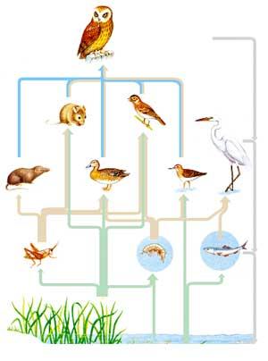 Экосистема водоема (иллюстрация с сайта www.bio.miami.edu)