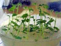 Ростики генетически модифицированной березы (фото с сайта Minsk.kp.ru)
