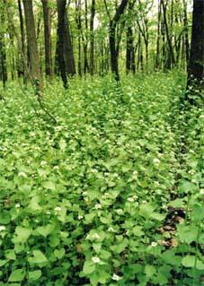 Часникова гірчиця Alliaria petiolata, що заполонила північноамериканські ліси, перешкоджає розвитку сімбіотичних грибів, необхідних для росту молодих дерев (© Courtesy of Elisabeth J. Czarapata; фото із сайту www.ipaw.org)
