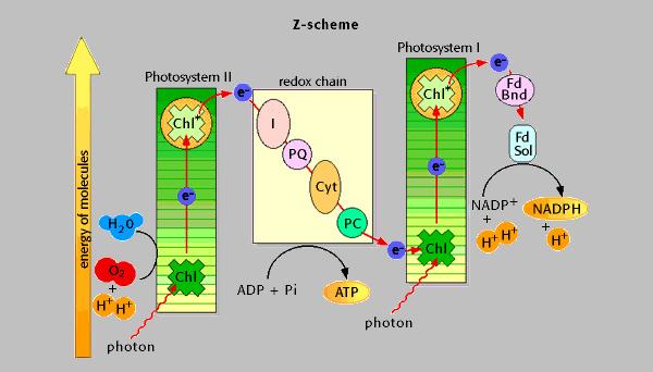 Краткая схема фотосинтеза у растений