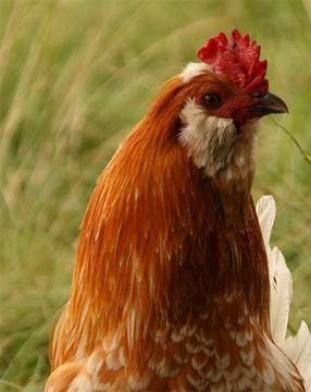 Курица из семейства пернатых