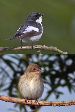 Мухоловка-пеструшка (вверху самец, внизу самка). © Lasse Olsson; фото с сайта www.birding.se