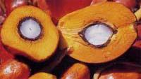 Плоды масличной пальмы (фото с сайта www.foodsmarket.info)