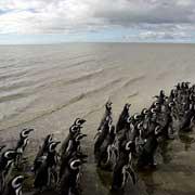 Пингвинов привезли к берегу в клетках на двух пикапах. Освобождённые птицы быстро прошли мимо туристов и через несколько секунд исчезли в волнах (фото AP/Natacha Pisarenko)