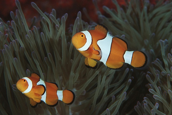 Рыбы-клоуны коралловых рифов сходят с ума из-за глобального потепления