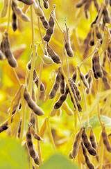 Соя - вихідна сировина для виробництва біодизелю (фото з сайту supernew.ej.ru)