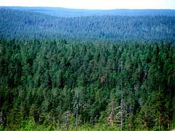 Тайга (Костомукша, РФ; фото с сайта greenpeace.org)