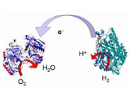Так працює біопаливний елемент, він же - паливний елемент на ферментах (ілюстрація із сайту chem.ox.ac.uk)